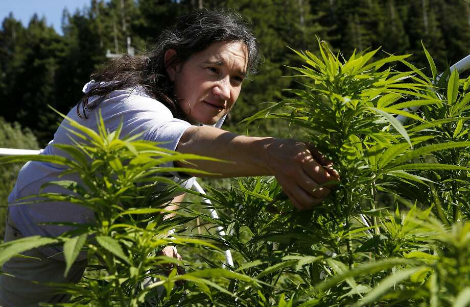 Marijuana grower Sunshine Johnston of Sunboldt Grown reaches for a Blue Dream plant at her Humboldt County farm. Photo: Connor Radnovich, The Chronicle