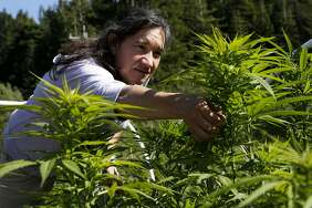 Marijuana grower Sunshine Johnston of Sunboldt Grown reaches for a Blue Dream plant at her Humboldt County farm.