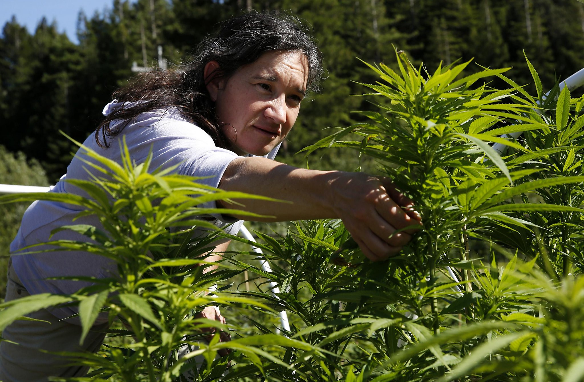 Allure Of Legal Weed Is Fueling Land Rush In Emerald Triangle Sfchronicle Com