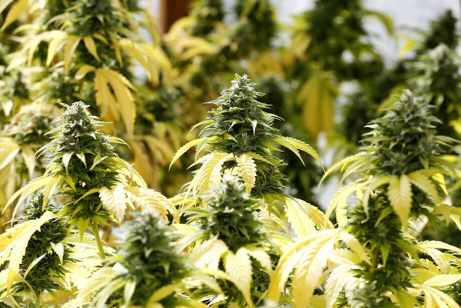 Skywalker marijuana plants at Sunboldt Grown farm in Redcrest, California, on Tuesday, May 10, 2016. Photo: Connor Radnovich, The Chronicle