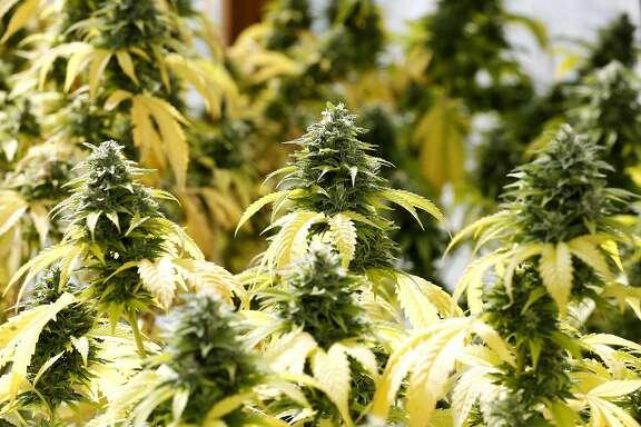 Skywalker marijuana plants at Sunboldt Grown farm in Redcrest, California, on Tuesday, May 10, 2016.