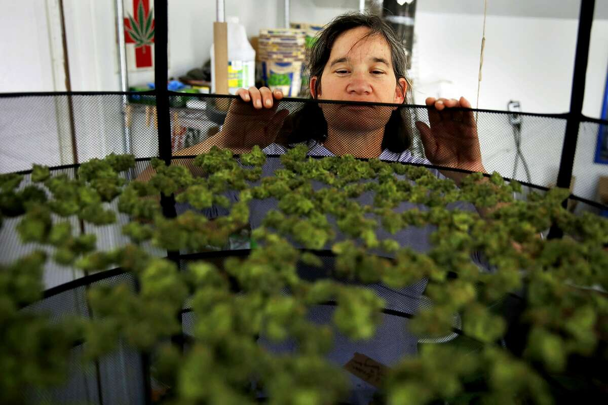 Marijuana grower Sunshine Johnston of Sunboldt Grown peers into a bud drying rack at her farm in Redcrest, California, on Tuesday, May 10, 2016.