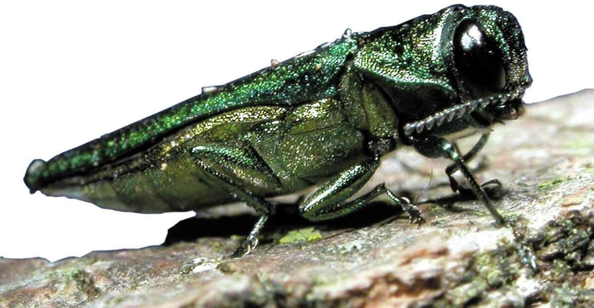 Emerald ash borer How they got here: Introduced in Michigan in the 1990s in imported wood packing material.  Why they're bad: The insects feed under the bark of trees, killing large numbers of trees that must then be removed at great public cost due to safety concerns.  What you can do: Avoid transporting firewood across long distances. Invasive insect species often spread this way. Instead, buy firewood at your destination.