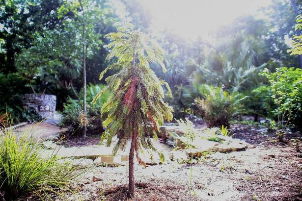 The Wollemi pine in Mercer Botanic Gardens withers after being damaged by the rain and flooding of Cypress Creek in April.