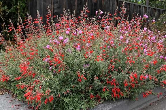 Epilobium canum photo.  Credit: Annie's Annuals & Perennials