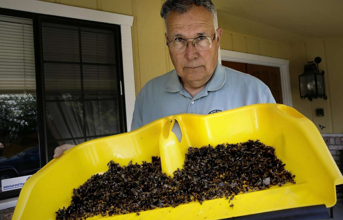 Alex Janke, whose son's bees went wild in Concord, holds a dustpan full of the now-dead aggressive bees.