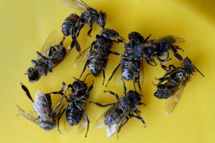 A dust pan filled with the now dead aggressive bees,on Tues. May 24, 2016, that attacked and killed two small dogs last week at a home in Concord, California.