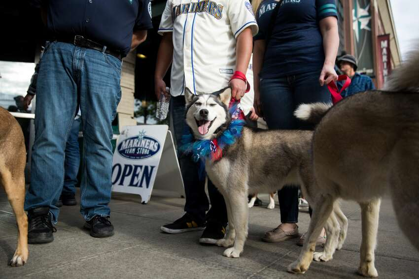 Mia, a husky, smiles in a ray of sunshine before Bark in the Park, during a Mariners game at Safeco Field, Tuesday, May 24, 2016.
