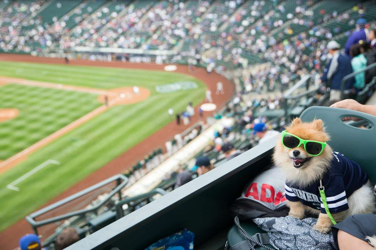 Puff Daddy, a Pomeranian, dons lime-green sunglasses before the Mariners hosted the A's at Safeco Field, Tuesday, May 24, 2016.