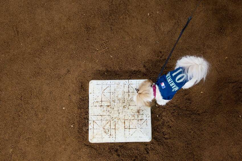 A dog gets to sniff second base during Bark at the Park at Safeco Field, Tuesday, May 24, 2016.