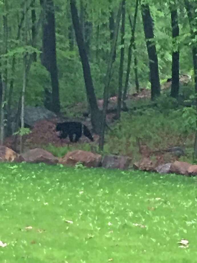 stamford police captain spots bear in backyard greenwichtime