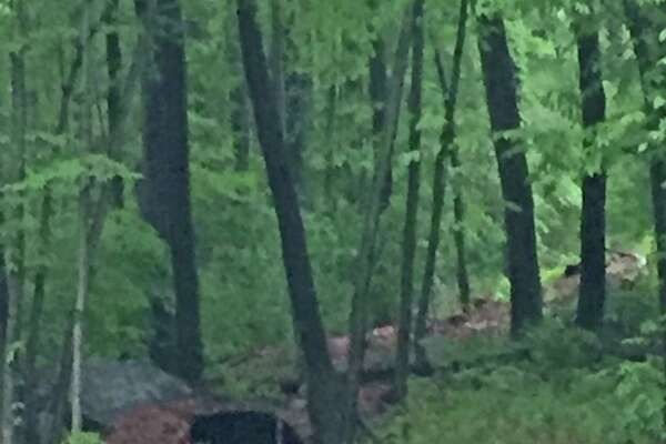 A black bear spotted in the Cranbury and West Rocks areas of Norwalk this week.