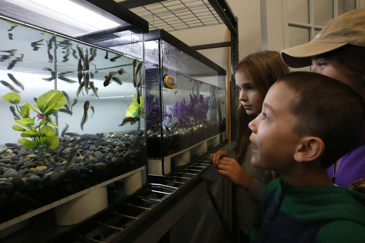 North Hillsboro students (l to r) Elizabeth Verhoeven, Matthew Scheible and Sophie Druskin, (hat) observe the red-legged frog tadpoles during the opening of the San Francisco Zoological Society-Yosemite National Park Conservation and Recovery Center at the San Francisco Zoo on Wed. May 25, 2016, in San Francisco, California. The center has raised over 400 endangered red-legged frogs which will be released inside Yosemite.