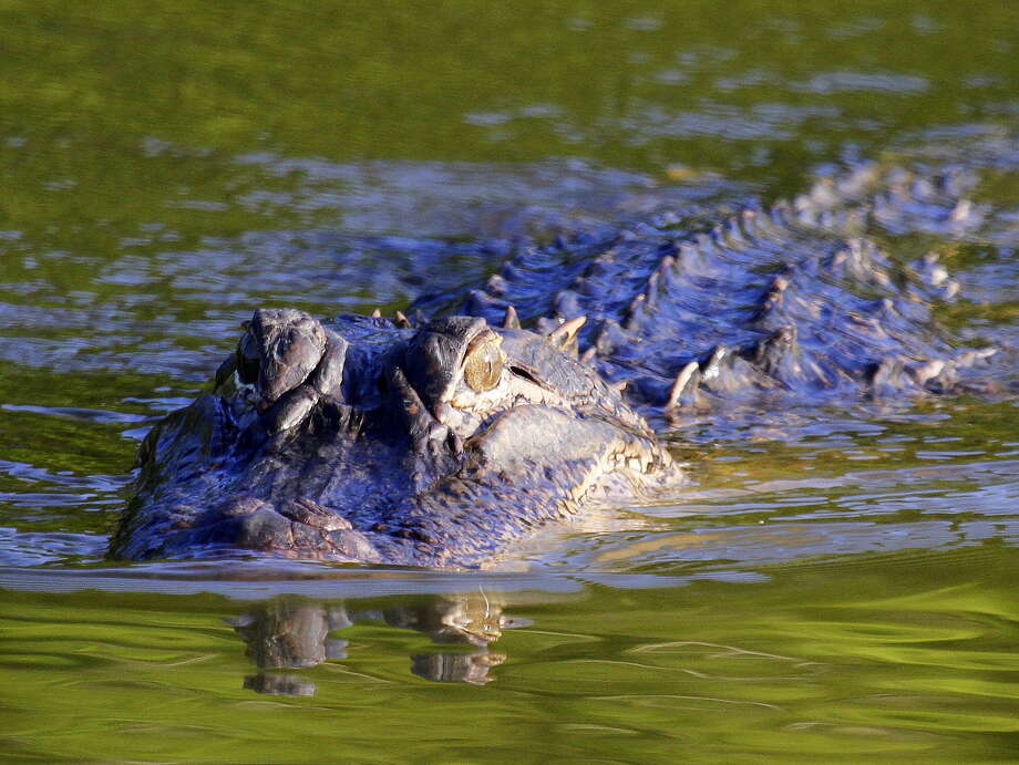 During their spring mating season, which peaks this month, Texas' half-million-plus alligators are on the move, increasing odds of human/gator encounters. Photo: Shannon Tompkins /Houston Chronicle