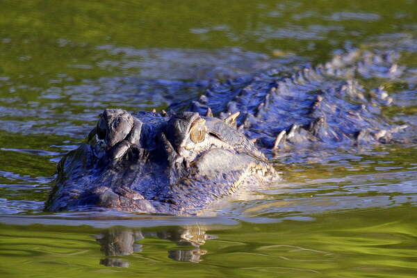 There Are Gators Galore In Texas Expressnews Com
