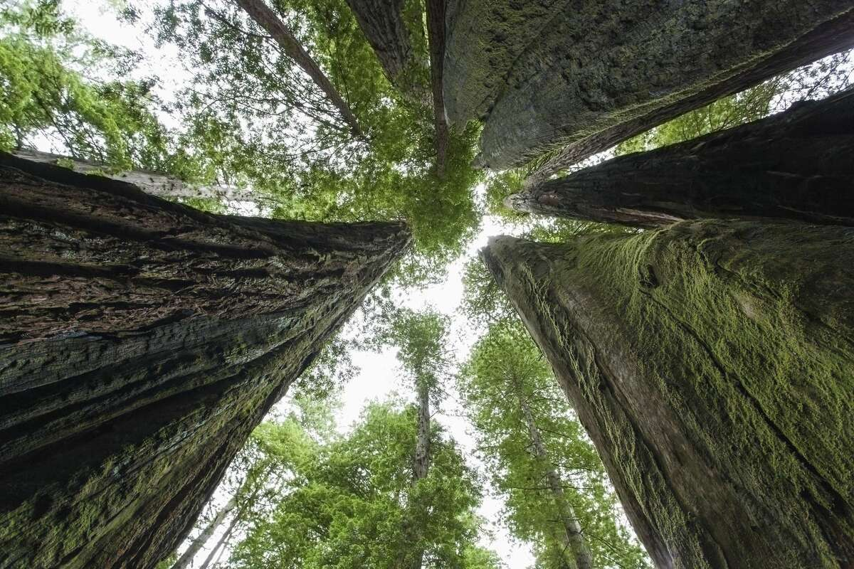 The Libbey Tree pales in height when compared to the current reigning tallest tree in the world. That title goes to Hyperion, discovered by amateur naturalists Chris Atkins and Michael Taylor, which measures more than 380 feet high.