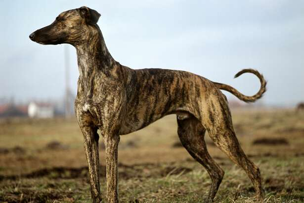 PetBreeds Index:  18  AKC Rank:  147  Difference:  129 