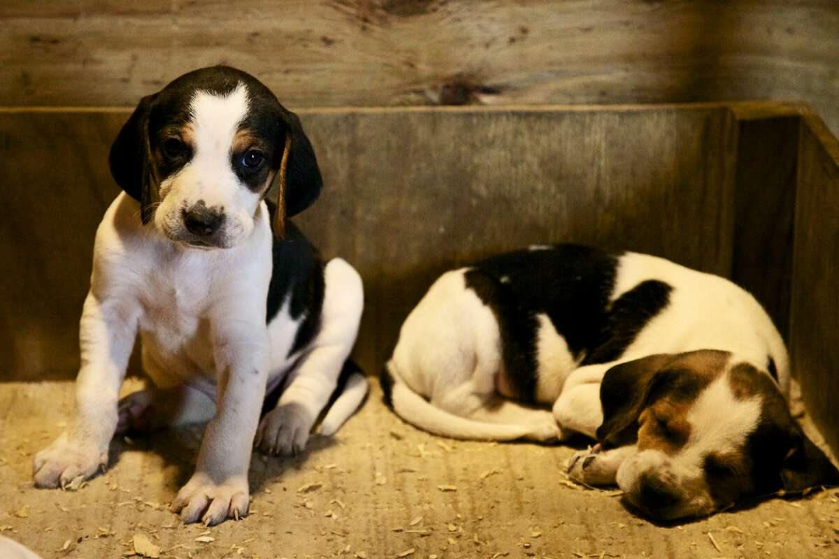 10) American Foxhound PetBreeds Index: 74 AKC Rank: 181 Difference: 107 If you love hound dogs, then give the American foxhound a chance. The large purebred is known to be multitalented, participating in hunting, man trailing and tracking, while also having a sweet, loving and loyal personality.