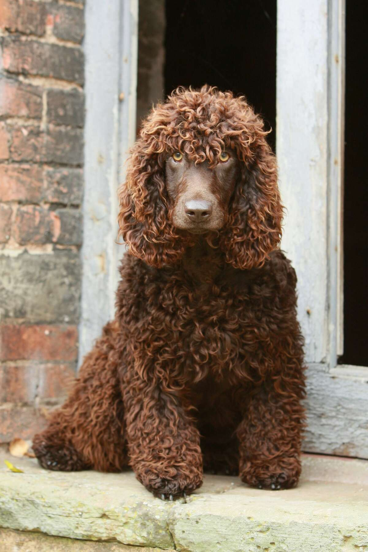 12) Irish Water Spaniel Work Score: 77.09 2015 Popularity: 144 Irish water spaniels are known to be a talented breed adept at agility, tracking and competitive obedience. They are also intelligent, responsive and loyal.