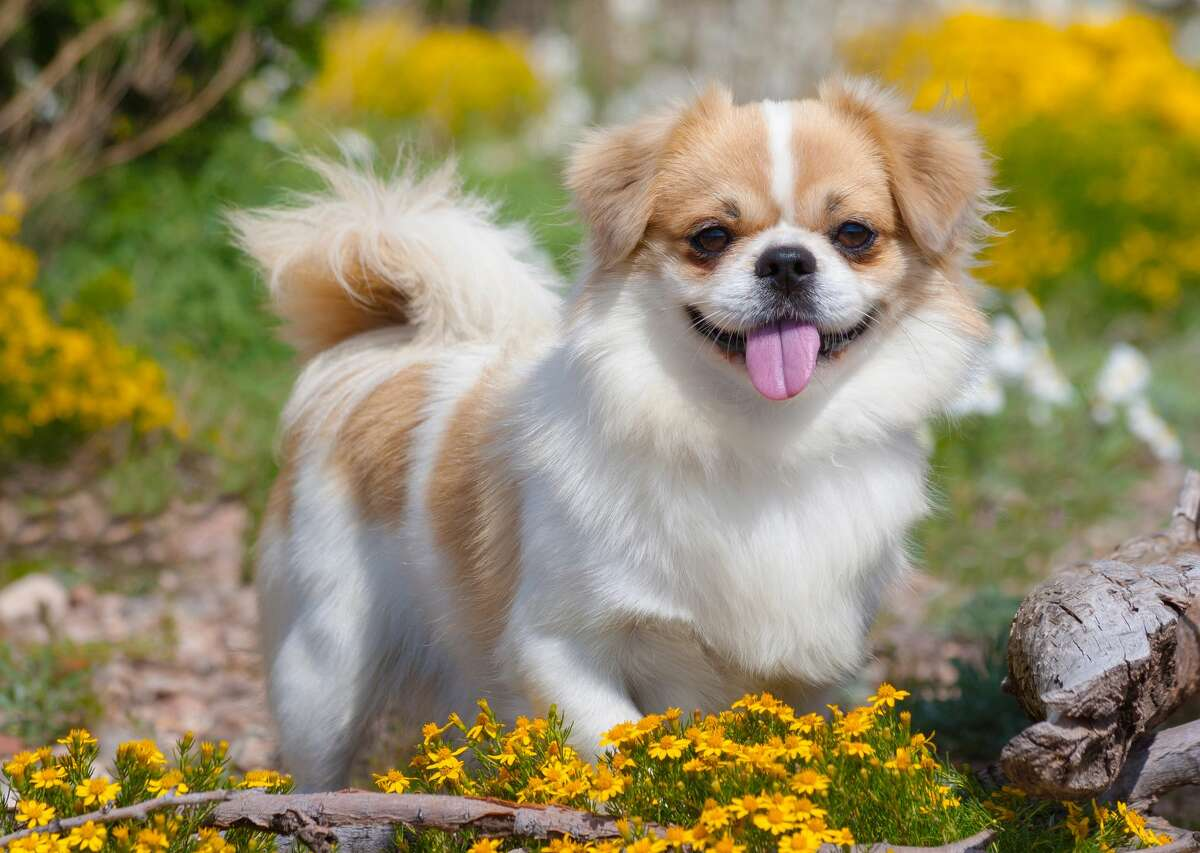 9) Tibetan Spaniel PetBreeds Index:6AKC Rank:115Difference:109 The Tibetan spaniel is a small purebred, only weighing between nine and 15 pounds; but despite its small stature, this underrated canine makes a great watchdog. Along with easy training and moderate maintenance, this dog has a cheerful and independent temperament and is playful around children.