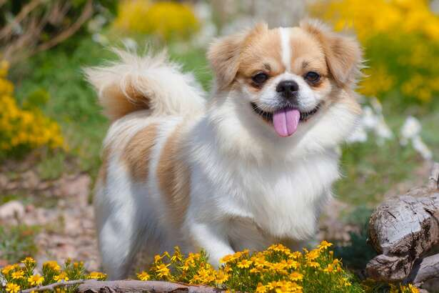 PetBreeds Index: 6  AKC Rank: 115  Difference: 109   The Tibetan spaniel is a small purebred, only weighing between nine and 15 pounds; but despite its small stature, this underrated canine makes a great watchdog. Along with easy training and moderate maintenance, this dog has a cheerful and independent temperament and is playful around children.