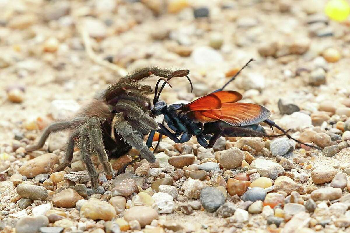 Bill Supulski captured this rare photograph of a tarantula hawk attacking a tarantula in Estero Llano Grande State Park, May 2016. Click ahead to see other creepy Texas critters you might see while camping, hiking and enjoining the great outdoors of the Lone Star State.