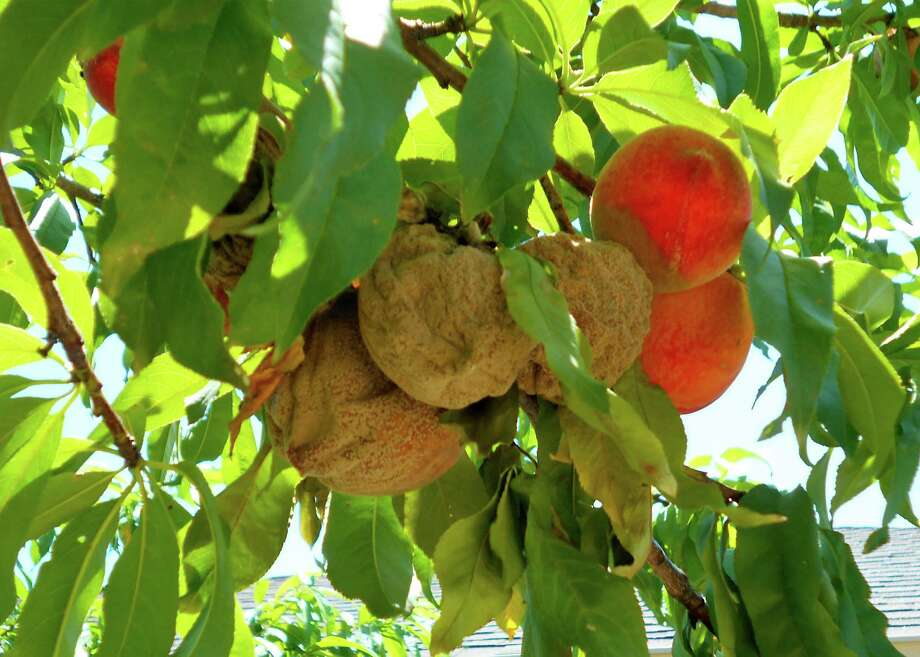 Brown rot is an apt description for this problem. Photo: Courtesy Photo