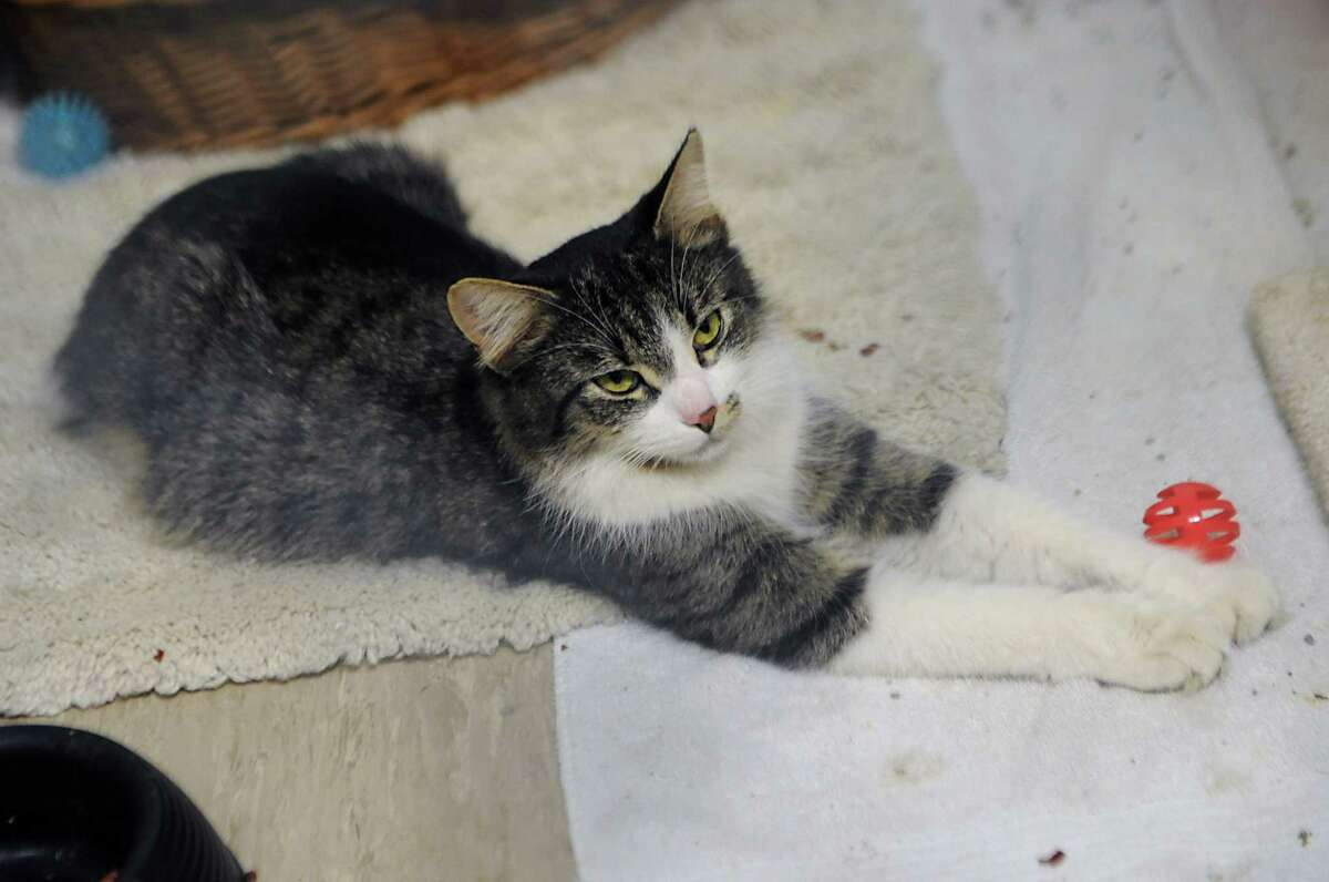 A cat waiting for adoption is seen in a cage at the Mohawk Hudson Humane Society on Friday, Feb. 27, 2015 in Albany, N.Y. (Lori Van Buren / Times Union)