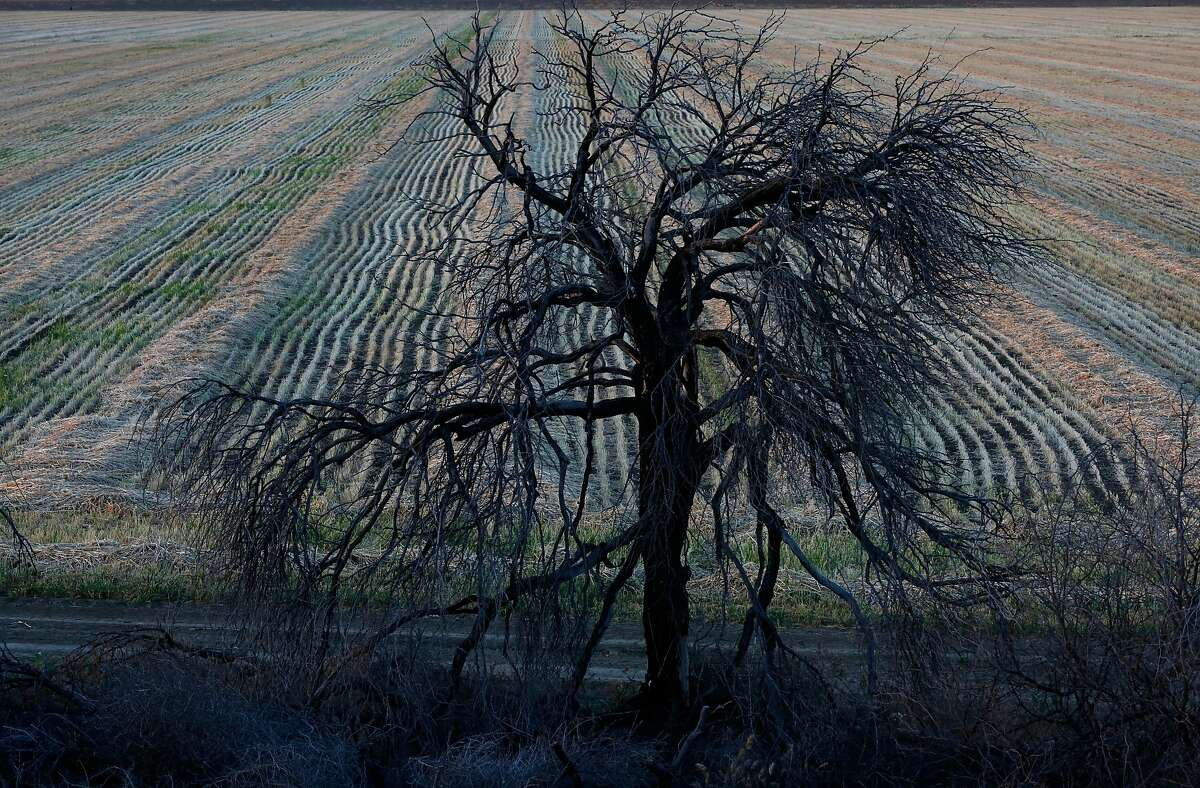 A dead tree sits on the edge of a recently harvested field just off of the San Luis Canal at sunset April 9, 2014 near Huron, Calif.