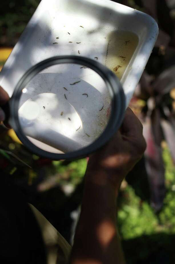 Chalmers Vasquez, a Florida mosquito control operations manager in Miami-Dade County, uses a magnifying glass to see if mosquito larva is in a body of water. Vasquez's department is working to eradicate the mosquitoes to fight a possible Zika virus outbreak. Photo: Joe Raedle /Getty Images / 2016 Getty Images