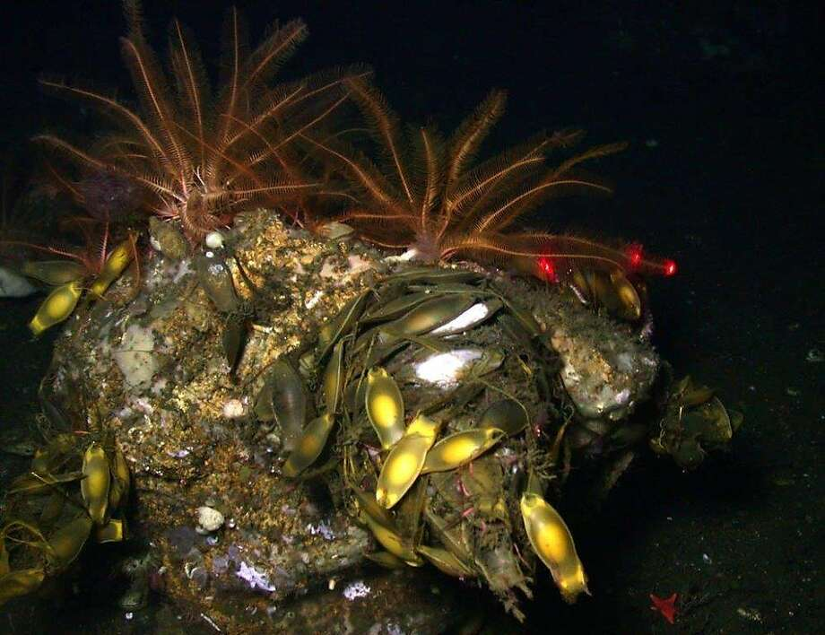A catshark nest with the shark's yellow egg cases, often called mermaid's purses, was photographed during the expedition to the Farallones. Photo: Handout Photo, NOAA