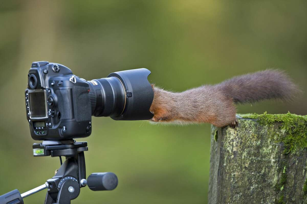 Wild red squirrel looking into camera lens.