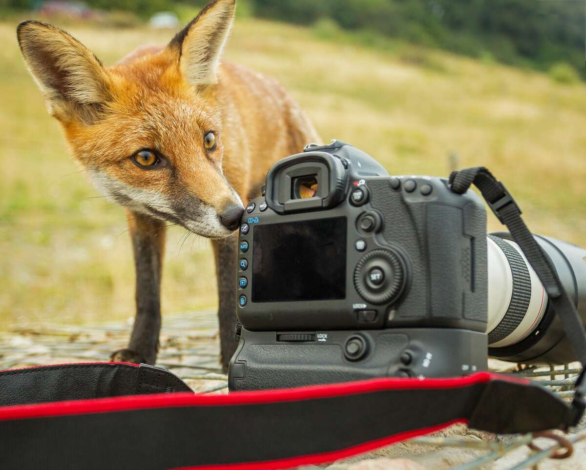 Wild but very friendly Red Fox taking a liking to a camera.