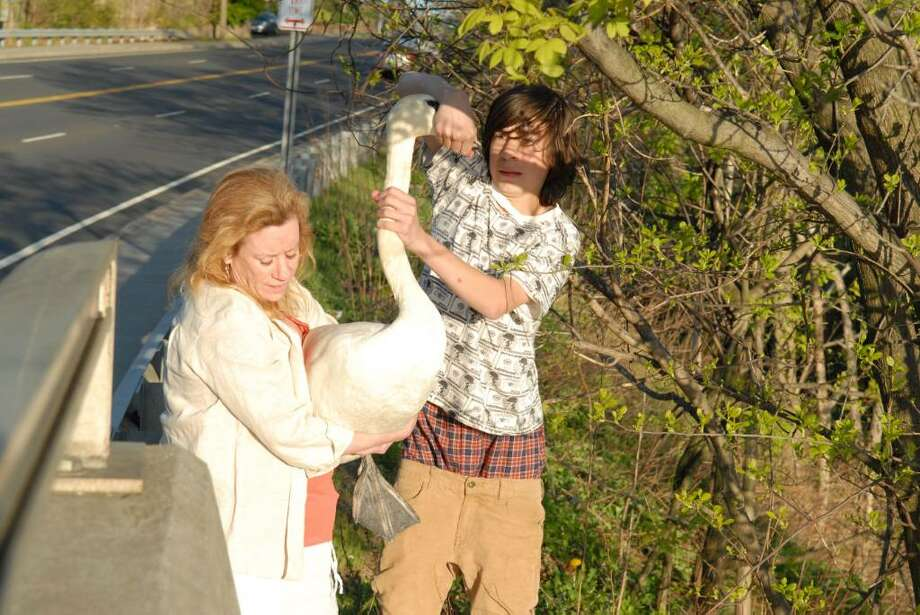 Laura Giacomara carries a swan, while her son Dustin Tedesco holds its beak, off the Route 1 bridge over the Mianus River Monday. Giacomara and her son were able to help the swan avoid traffic and make its way safely to the river. Photo by John Ferris Robben. Photo: Contributed Photo / Greenwich Time Contributed