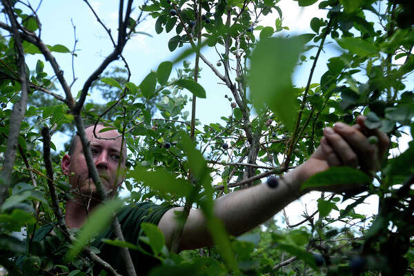 Josh Pugh picks blueberries during the opening day at the B&M Farms u-pick blueberry patch on Saturday. The farm is open Monday through Saturday from 8 a.m. to 6 p.m. and Sundays from 1 p.m. to 6 p.m.  Photo taken Saturday 5/28/16 Ryan Pelham/The Enterprise