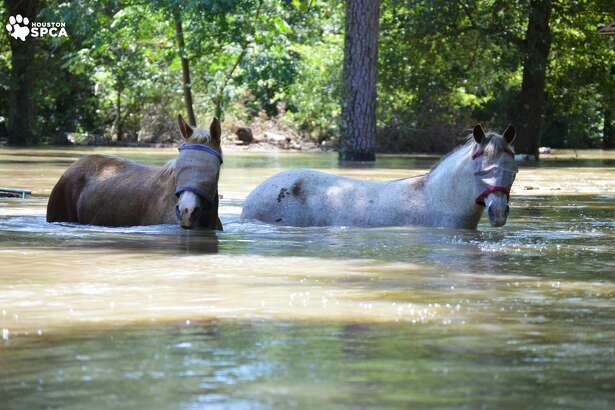 The Houston SPCA helped with equine rescues Saturday, May 28, 2016. Heavy rains on Thursday and Friday resulted in significant flooding in the Houston area as rivers, creeks and bayous spilled over their banks.
