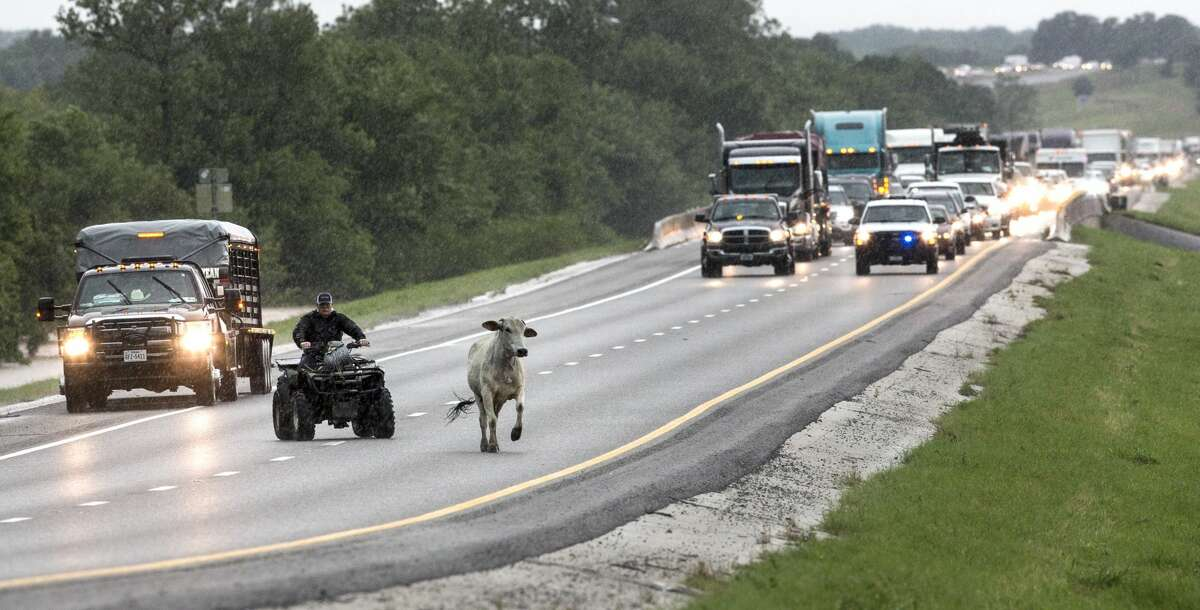 Cattle are herded up US route 290 out of a flooded pasture, Friday, May 27, 2016, in Chappell Hill, Texas, (Brett Coomer/Houston Chronicle via AP)