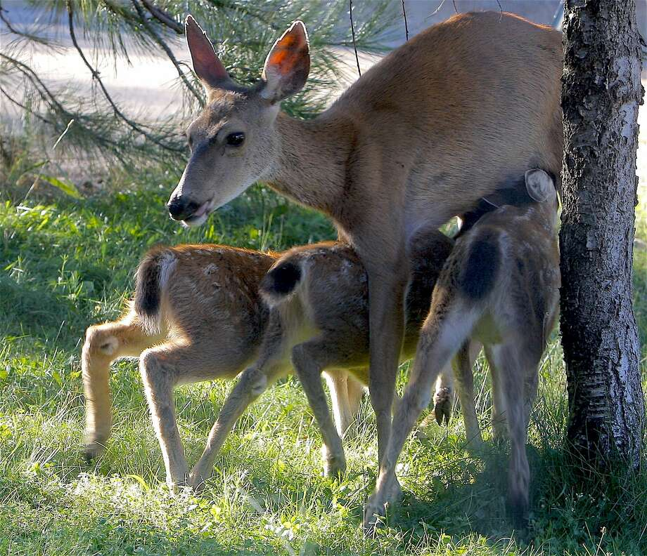 A rare crop of three fawns, becoming more common in Northern California for the first time in years. Wildlife biologists say that increased nutrition from high growth of vegetation has resulted in a large fawn crop now being born across much of the state. Photo: The Chronicle, Tom Stienstra / The Chronicle
