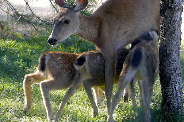 A rare crop of three fawns, becoming more common in Northern California for the first time in years. Wildlife biologists say that increased nutrition from high growth of vegetation has resulted in a large fawn crop now being born across much of the state.