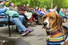 A beagle sits in the crowd during a musical performance at the Northwest Folklife Festival on May 29, 2016.