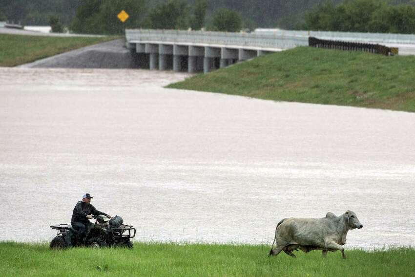 Cattle are herded up US 290 out of a flooded pasture on Friday, May 27, 2016, in Chappell Hill, east of Brenham.