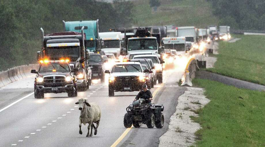 Cattle are herded up US 290 out of a flooded pasture on Friday, May 27, 2016, in Chappell Hill, east of Brenham. Photo: Brett Coomer, Houston Chronicle / © 2016 Houston Chronicle