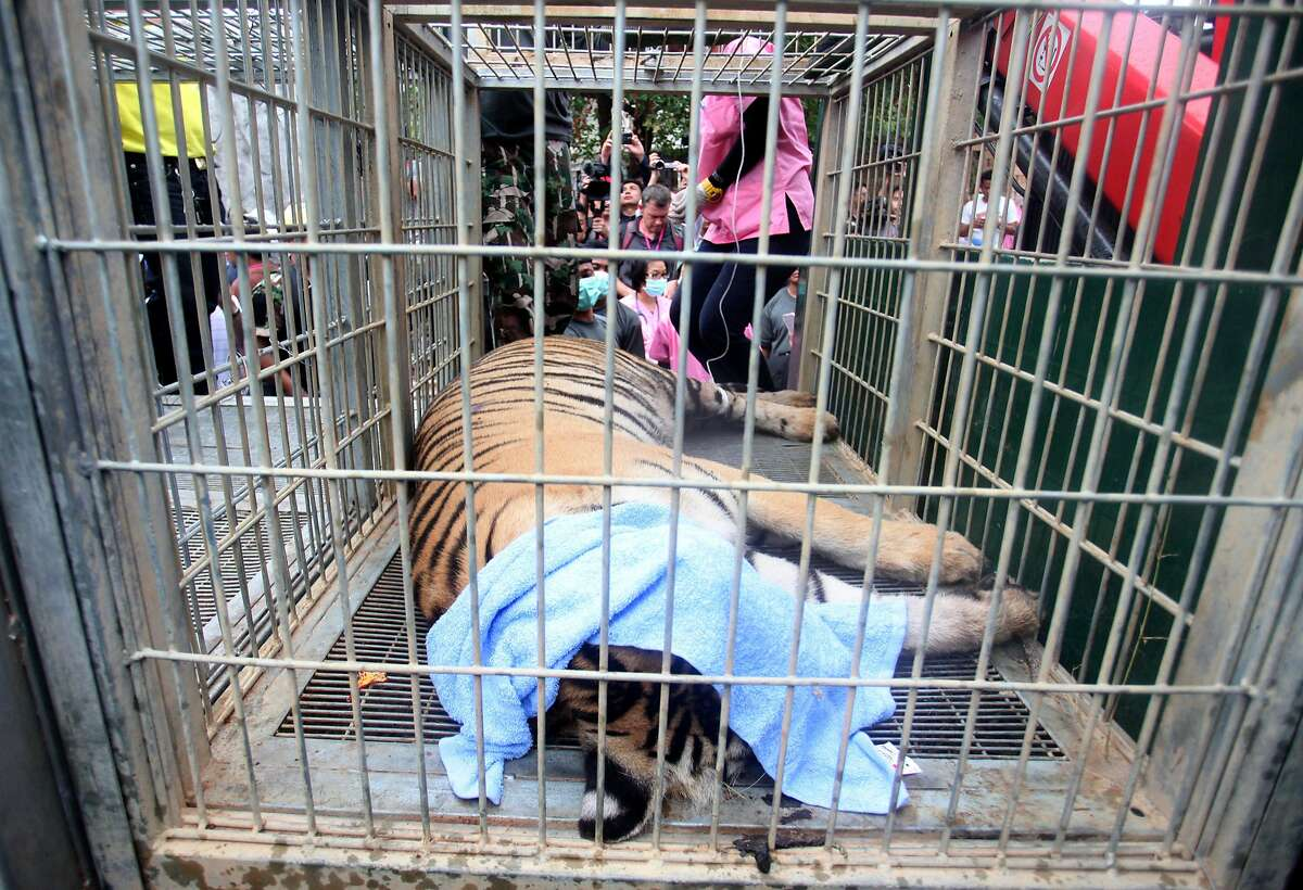 In this Monday May 30, 2016 photo, a sedated tiger lies in a cage at the