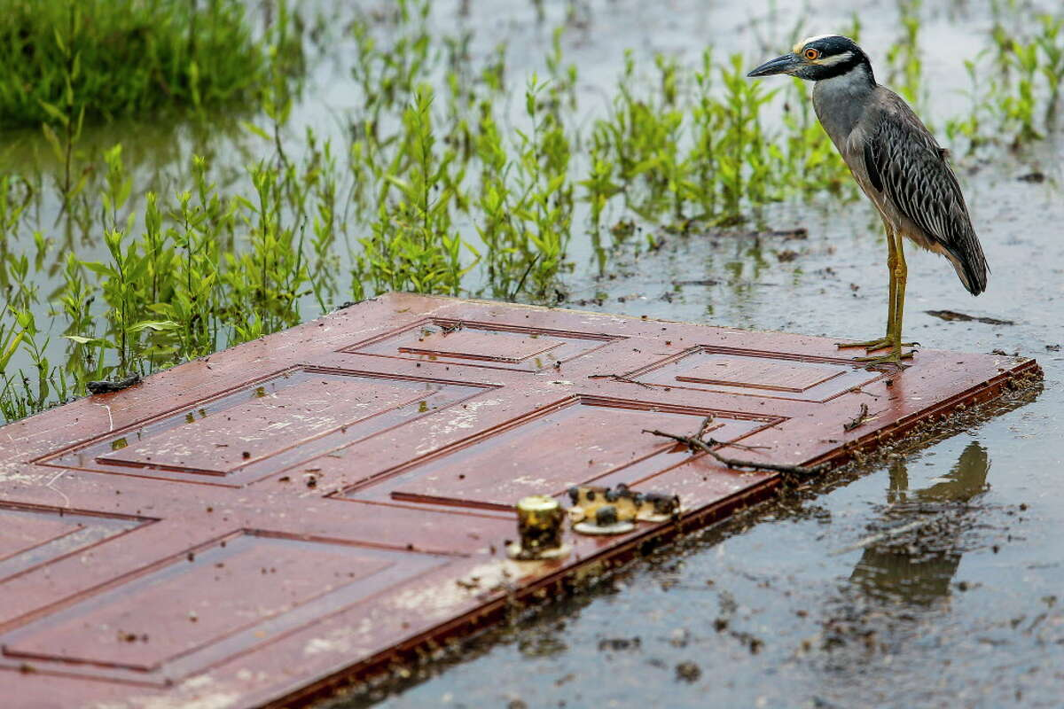 A heron stands on a door washed into a lawn along 5th Street Tuesday, May 31, 2016 in Rosenberg.