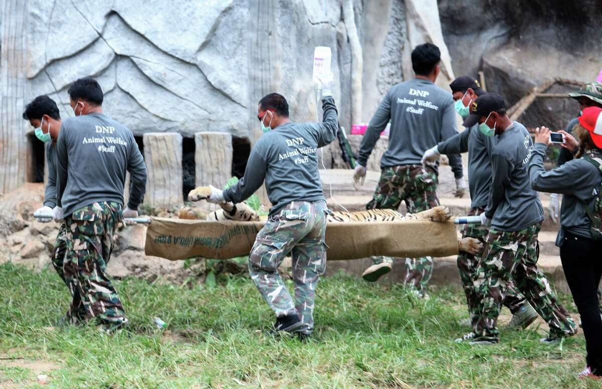 Wildlife officials on Monday carry a sedated tiger on a stretcher at the
