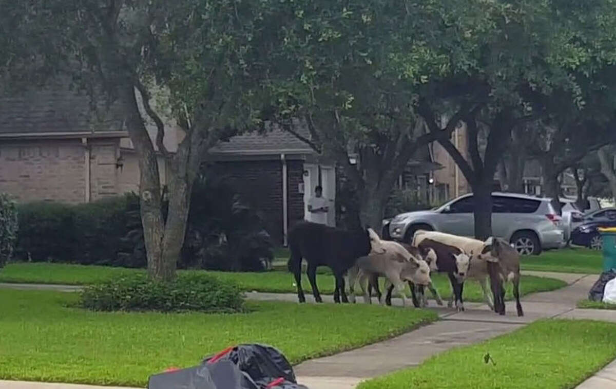 A Pearland resident, Chris Tuey, shared a video on YouTube of six calves lumbering around the Southfork neighborhood in that area on Wednesday morning, June 1, 2016. They don't seem to be causing any trouble in the video but they were mooing a bit loud, which might have woken up a few late sleepers.