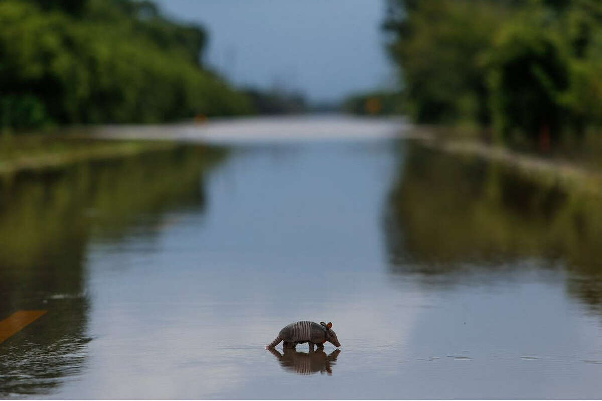 A lone armadillo moves across a flooded roadway in Booth, Texas on Wednesday, June 1, 2016. Rising waters forced residents to evacuate their homes and buildings.