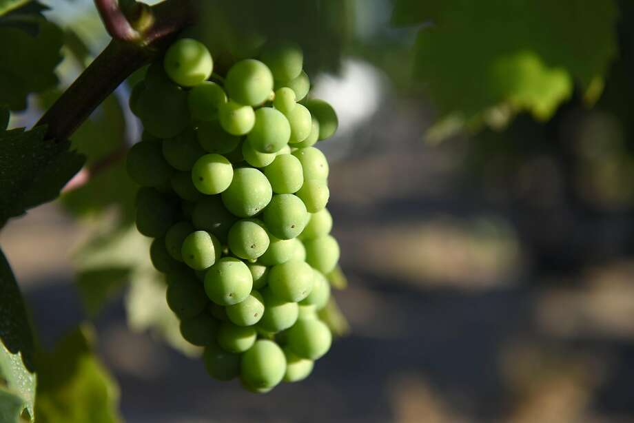 Zinfandel grapes on a vine at Evangelho Vineyard in Antioch. Photo: Michael Short, Special To The Chronicle