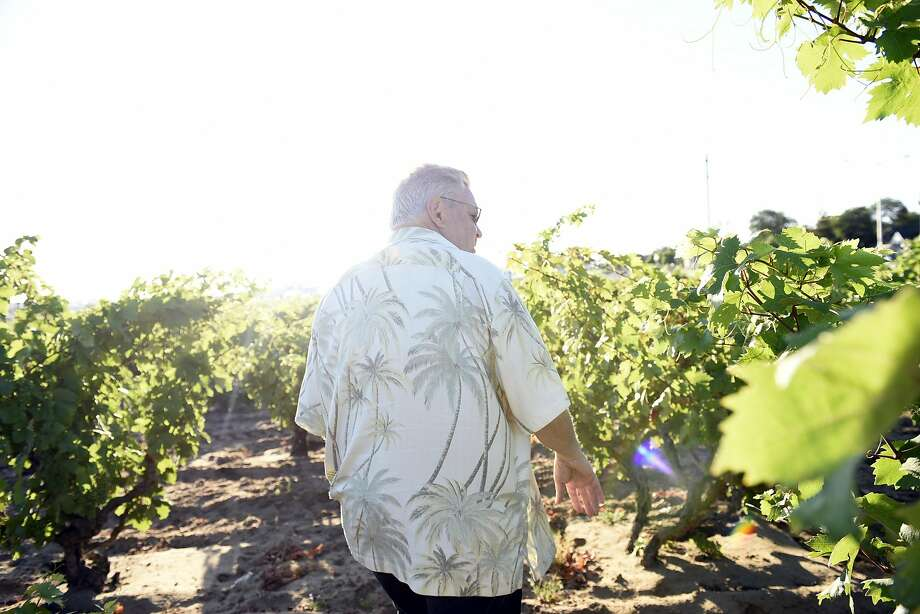 Frank Evangelho walks through the vines at his Evangelho Vineyard in Antioch. Photo: Michael Short, Special To The Chronicle