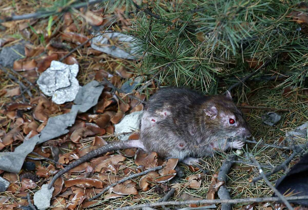 FILE -- A red-eyed rat scavenges in the Jungle. Rats run rampant in the area but some residents prefer dealing with them instead of the bed-bugs found at shelters.